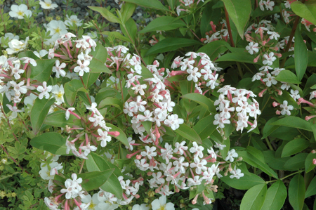 Abelia mosanensis